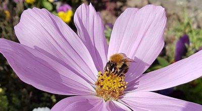 CLAIR COSMOS BEE